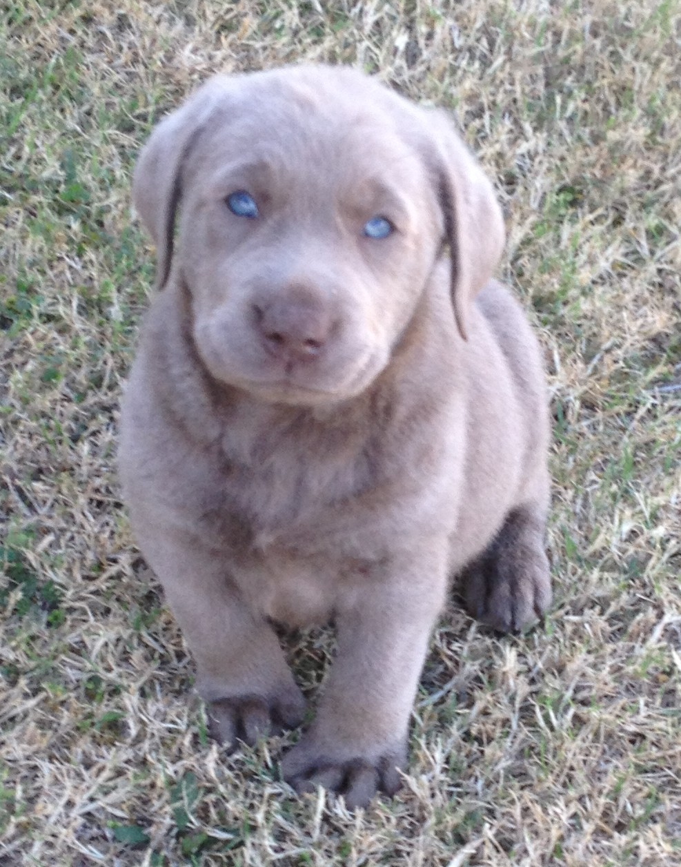 labrador started dogs for sale lab puppies for sale texas